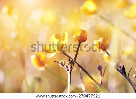 Buttercups yellow wildflowers on a meadow lit with the sun. - stock photo