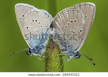 Butterflies Mating On A Flower Over Green Background Stock Photo