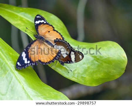 Butterflies mating - The Danaid Eggfly (Hypolimnas misippus misippus). The female is to left