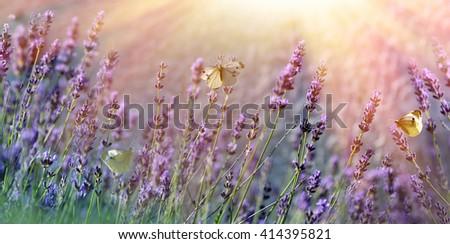 Butterflies on lavender flower - stock photo