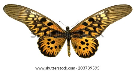 Butterfly Africa Papilio antimachus (Clipping path) - stock photo