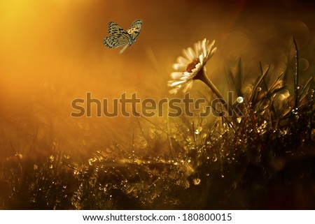 Butterfly and daisy wild flower in sunset - stock photo