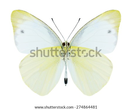 Butterfly Appias paulina (male) (underside) on a white background - stock photo