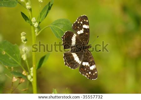 butterfly (araschnia levana) - stock photo