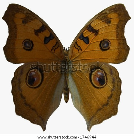 Butterfly-Argus - stock photo