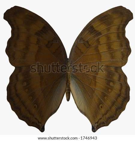 Butterfly-BeechWing - stock photo