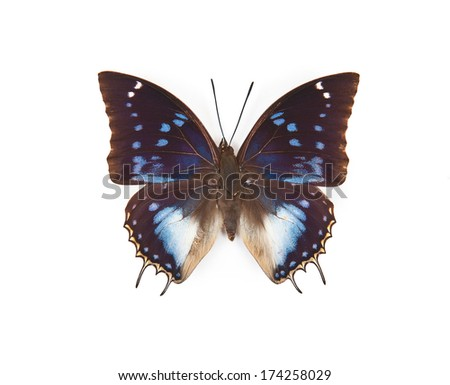 Butterfly black blue and white Charaxes smaragdalis - stock photo