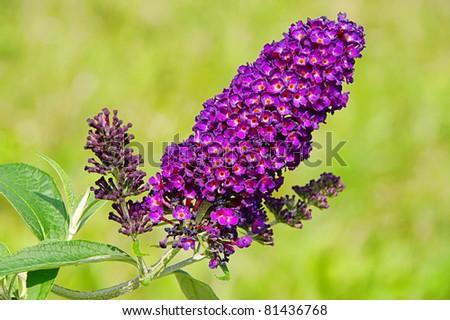 butterfly bush - stock photo