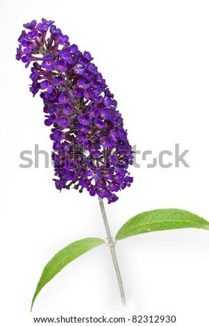 Butterfly bush (Buddleja), isolated - stock photo