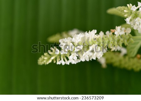 Butterfly bush, Byttneria, Summer lilac (Buddleja. paniculata) on a background of green banana leaves. - stock photo