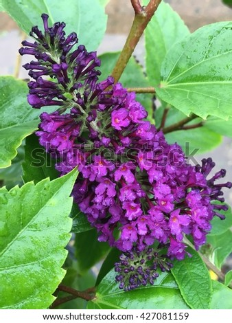 Butterfly bush in full bloom with dark purple flowers with green leaves.