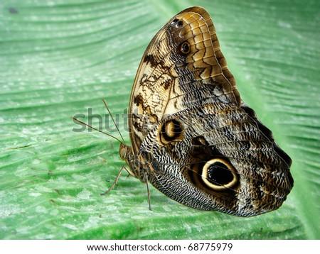 Butterfly (Caligo memnon) - stock photo