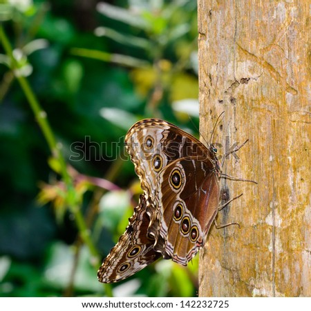 Butterfly Caligo or Owl's Head - Caligo idomeneus
