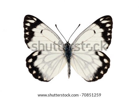 Butterfly, Caper White, Caper Gull, Pale form, Belenois java, male, wingspan 55 mm - stock photo