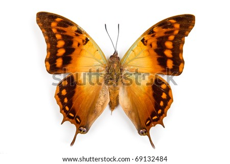 Butterfly Charaxes candiope isolated on white background