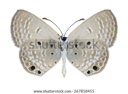 Butterfly Chilades galba (male) (underside) on a white background - stock photo
