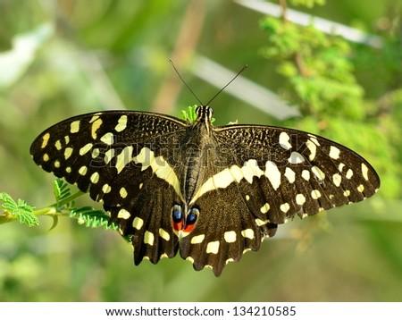 butterfly Citrus Swallowtail,Papilio demodocus - stock photo