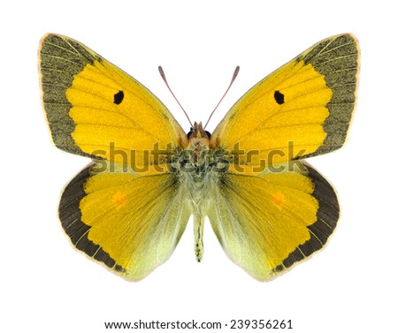 Butterfly Colias aurorina (male) on a white background - stock photo