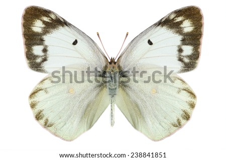 Butterfly Colias erate polyographus on a white background - stock photo