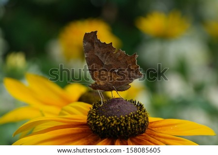butterfly Comma on a flower - stock photo