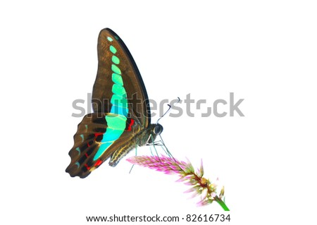 Butterfly (Common Bluebottle) isolated on white background - stock photo