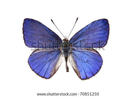 Butterfly, Common Pencil Blue, Candalides absimilis, male, wingspan 30mm - stock photo