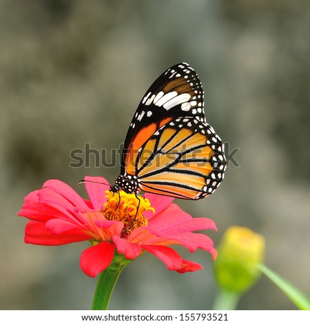Butterfly (Common Tiger) - stock photo