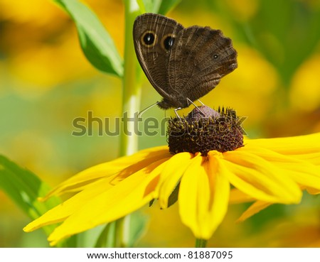 Butterfly, Common Wood-Nymph on a brown eyed Susan flower in the summer.