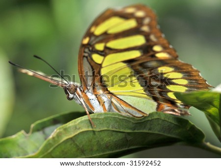 butterfly, costa rica malachite 1 - stock photo