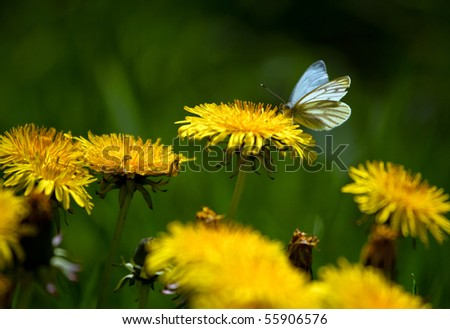 butterfly drink juice blossomed dandelion - stock photo