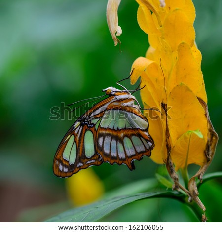 Butterfly, Ecuador rain forest, Sasha Lodge - stock photo
