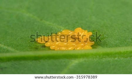 Butterfly Eggs on Green Leaf Macro - stock photo
