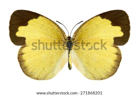 Butterfly Eurema hecabe (female) on a white background - stock photo
