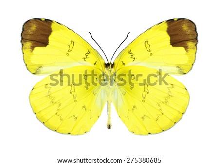 Butterfly Eurema simulatrix (male) (underside) on a white background - stock photo