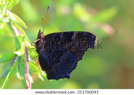 Butterfly - European Peacock (Inachis io) resting on grass. Closeup - stock photo