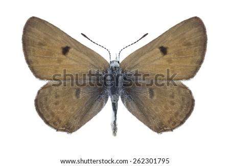 Butterfly Farsia iris on a white background - stock photo