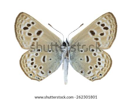 Butterfly Farsia iris (underside) on a white background - stock photo