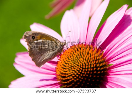 Butterfly feeding on echinacea plant - stock photo