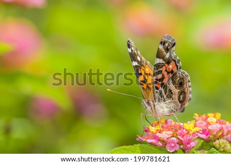 Butterfly feeding on the nectar of colorful flowers in Costa Rica. - stock photo