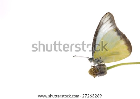 butterfly feeding with yellow flower border - stock photo