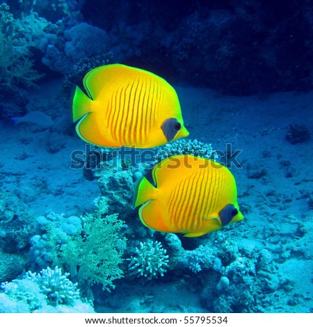 Butterfly fish. - stock photo