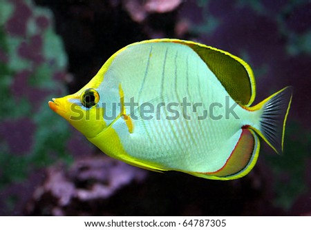 Butterfly fish - stock photo