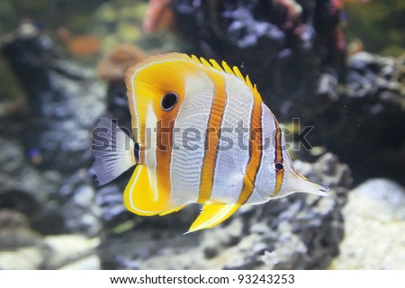 Opinion Info on striped butterfly fish