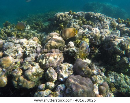 Butterfly fish and coral reef, underwater landscape, tropical sea landscape, grey corals and coral fishes, butterfly fish in the sea, clear sea inhabitants, sea animals photo, coral reef snorkeling - stock photo