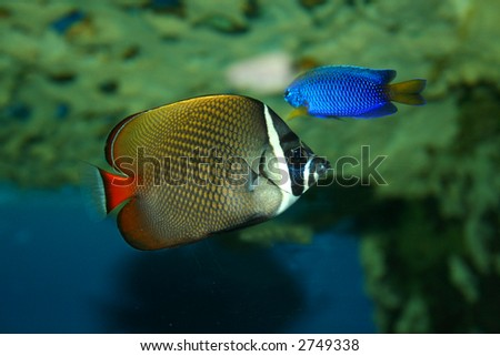 butterfly-fish in the tropical sea - stock photo