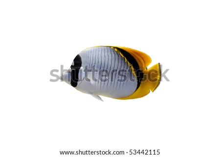Butterfly fish isolated on a white background - stock photo