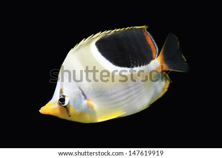 Butterfly fish isolated on Black
