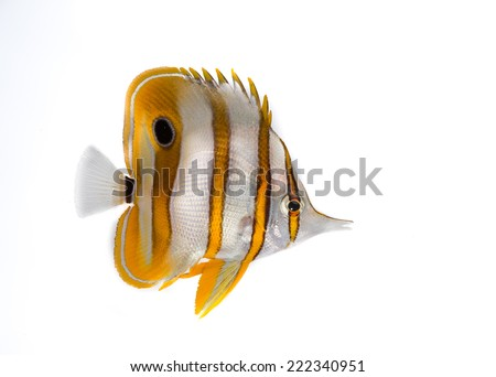 Butterfly fish isolated on white - stock photo
