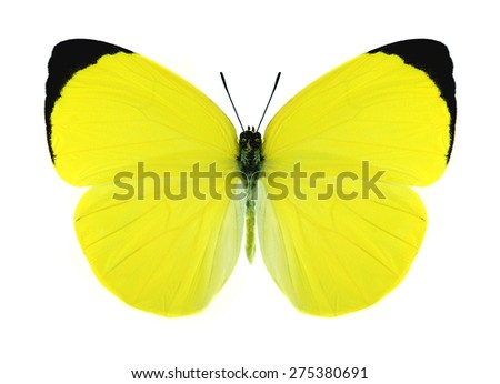 Butterfly Gandaca harina (male) on a white background - stock photo