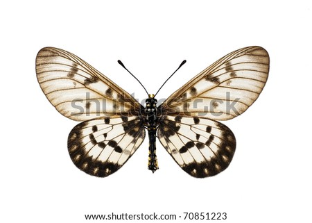 Butterfly, Glasswing, Little Greasy, Small Greasy, Acraea andromacha, male, wingspan 53mm - stock photo